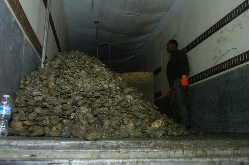 Semi tractor trailer caught in January with undersized oysters