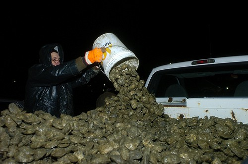 Oyster poaching in Chesapeake Bay
