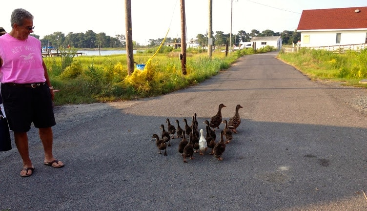 Ducks crossing a Smith Island road
