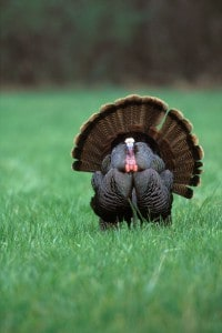 Maryland Wild Turkey