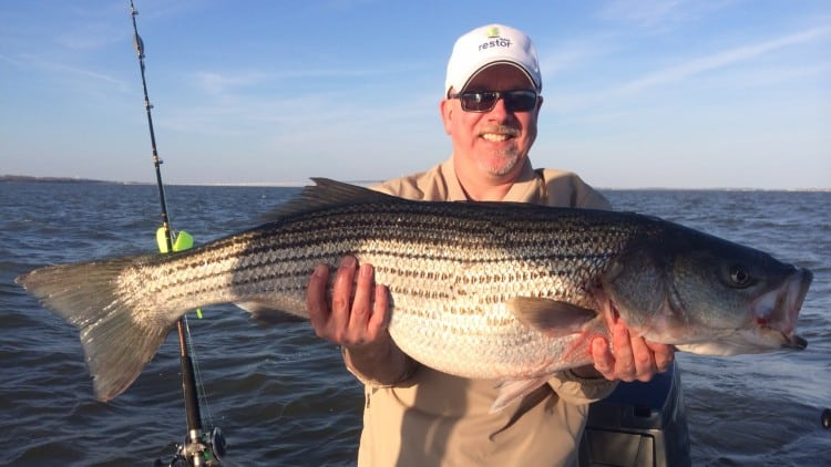 Fishermen are once again angling for Striped Bass (aka Rockfish)