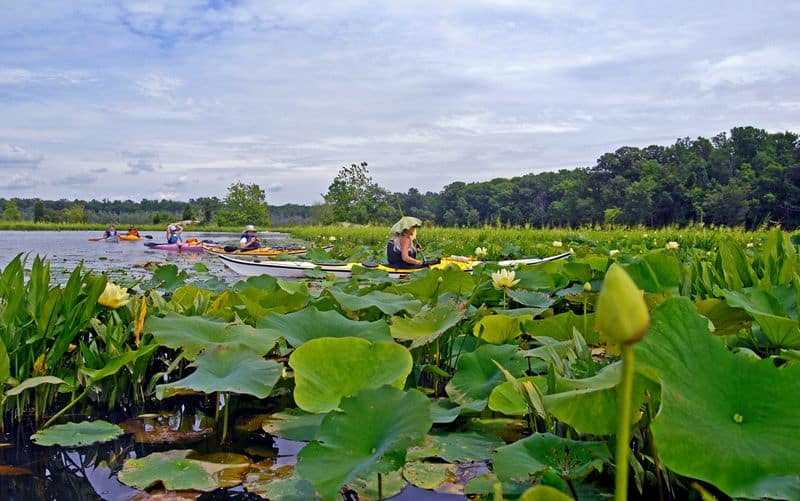 lotus flowers on Mattawoman Creek