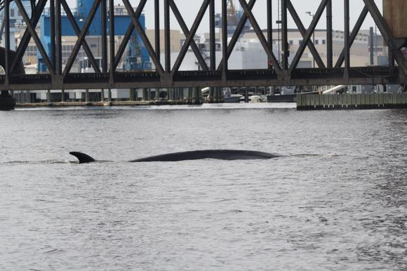 Whale in lower Chesapeake Bay
