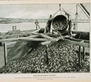 Historic picture of menhaden fishing