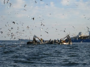 net boats brining in menhaden