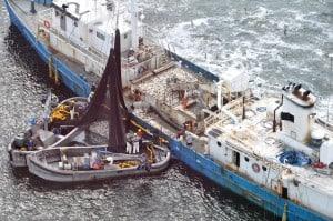 Omega Protein ship loading menhaden