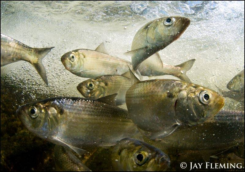 Jay Fleming photo of herring