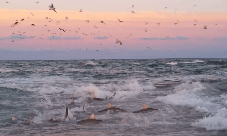 Shark feeding frenzy at Cape Lookout National Seashore