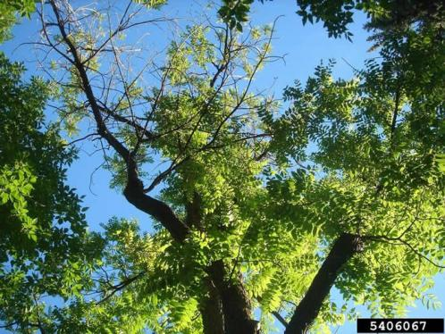 Signs of Thousand Cankers Disease in Black Walnut trees