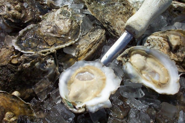 Chesapeake Bay oyster