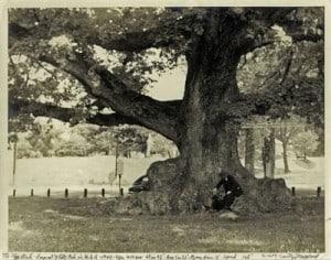 Wye Oak in 1940