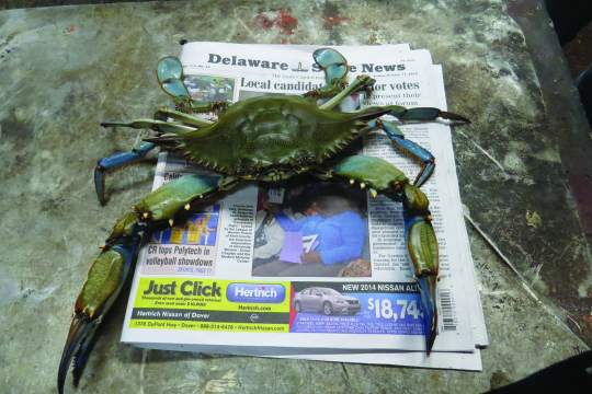9-inch Delaware Bay blue crab