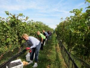Vineyards at Dodon Farm in Maryland