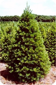 Scotch Pine Christmas Tree.6 Most Popular Christmas Trees Why They Should Be