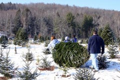 Cutting live Christmas tree