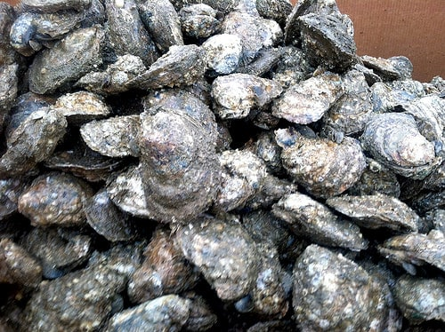 Maryland DNR seized oysters