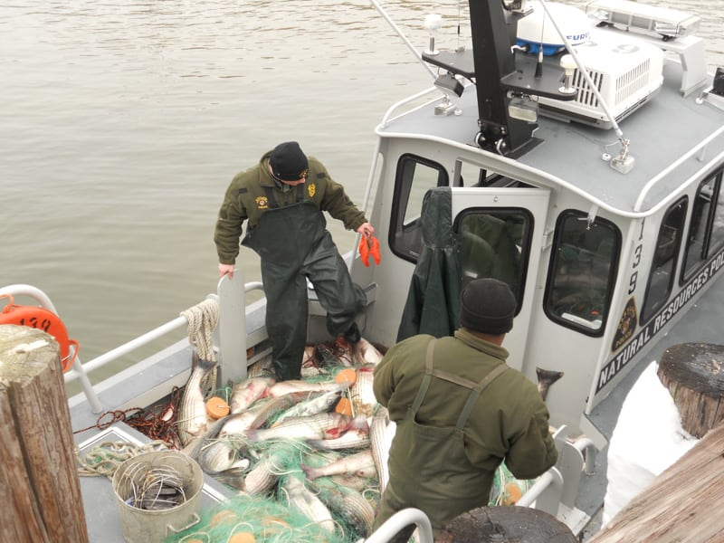 Maryland state police go through poached rockfish