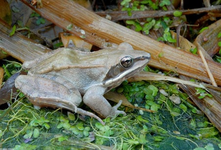 Maryland wood frog