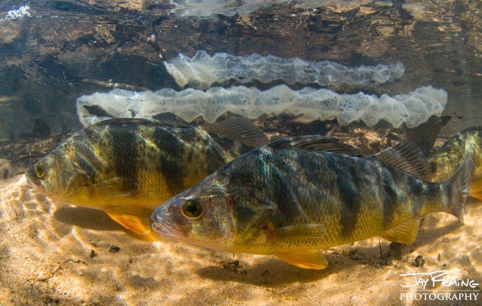 Chesapeake Bay yellow perch