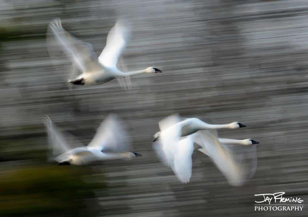 Chesapeake Bay tundra swans