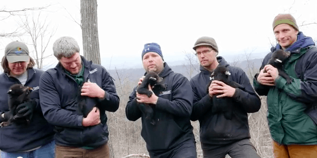 Record bear cubs in Maryland