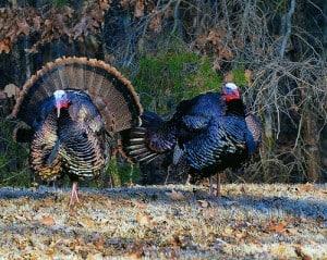 Maryland turkeys