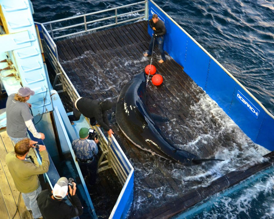Great white shark, Mary Lee, being tagged