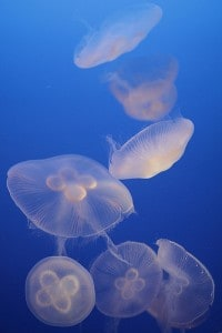 Moon jelly fish are also common in the Chesapeake Bay, but they're harmless to people. They have a wider bell and shorter tentacles. (Photo courtesy the Chesapeake Bay Program)