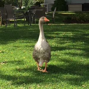 Toulouse the goose