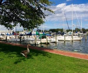 Goose on Hammock Island
