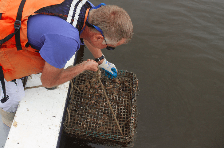 VIMS researcher testing for algal bloom damage on oysters