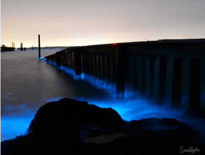 "The ""red tide"" turns blue in the moonlight (photo courtesy VIMS)"