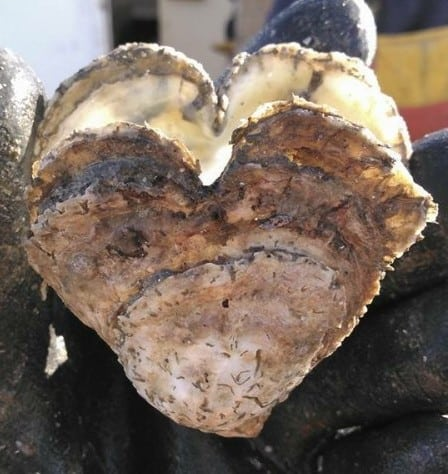 Heart-shaped oyster from the Rappahannock River