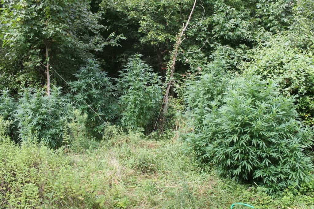 The plants had an estimated street value of $1,450,000 (Photo courtesy Queen Anne's County Drug Task Force)