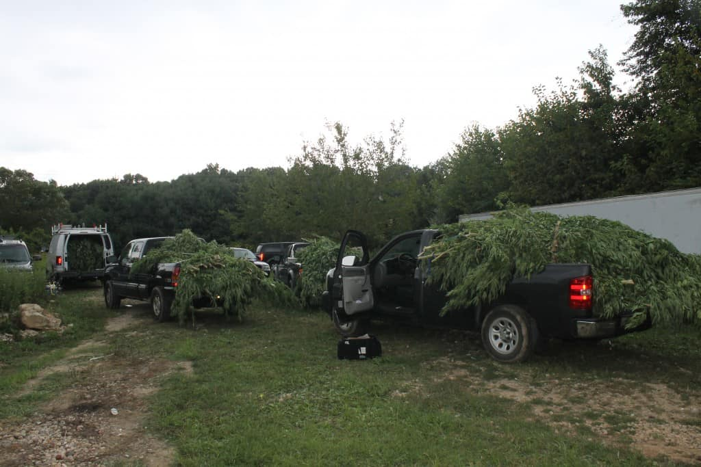 714 adult marijuana plants cut down by law officers (Photo courtesy Queen Anne's County Drug Task Force)