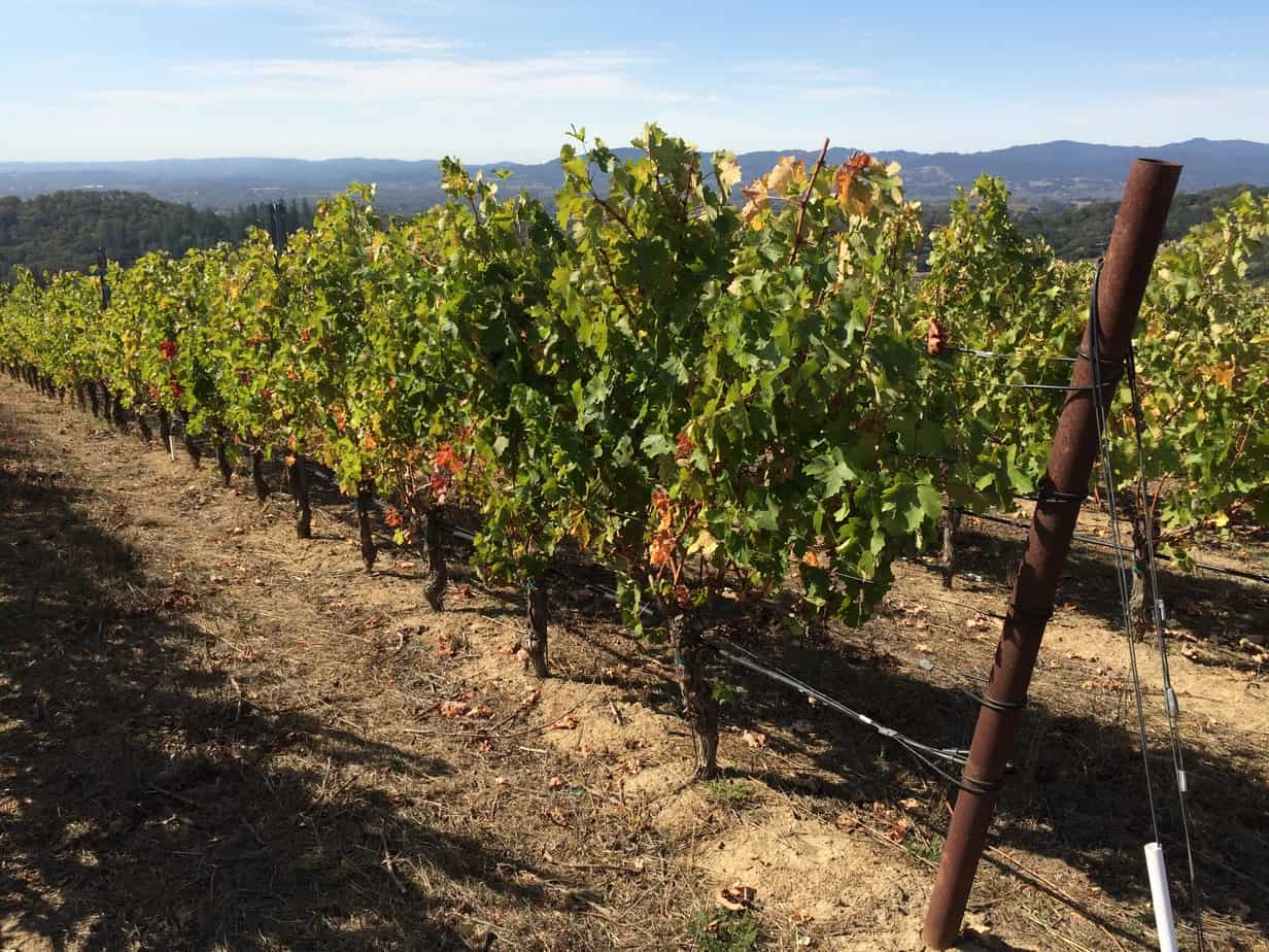 A row of five year old vines at Calluna winery in Napa Valley, California