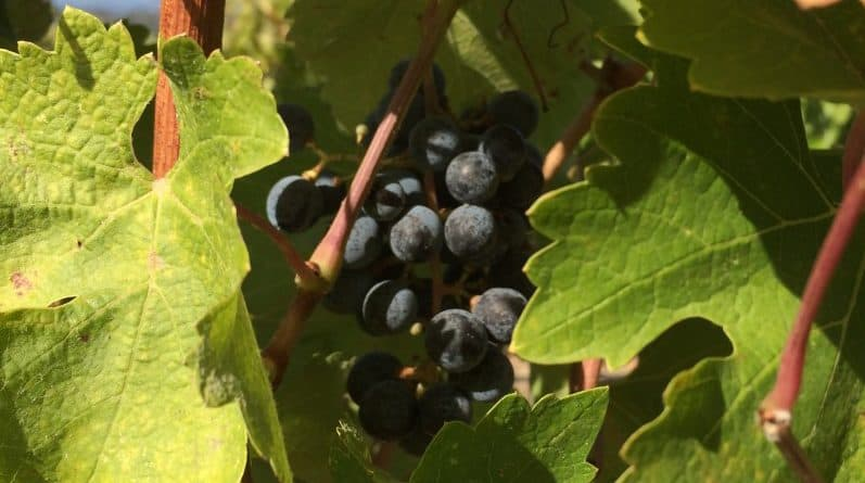 A cluster of grapes waiting to be picked at harvest season