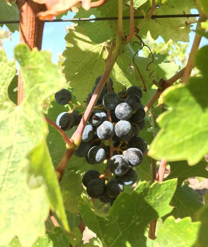 Grapes awaiting harvest at Calluna Winery in Sonoma County, California