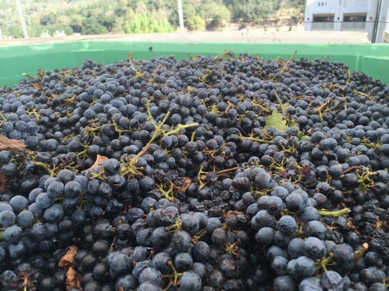 Just picked grapes before excess leaves and vine parts are picked out