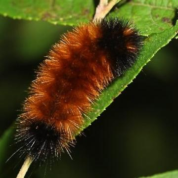 Aw Man! Wooly Bears don't really predict winter.