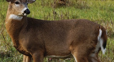 Maryland's robo-deer