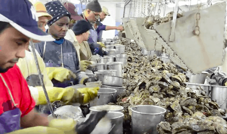 Oyster shuckers at Harris crab house on Kent Island