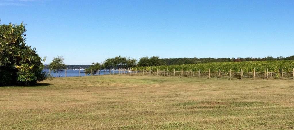 Chesapeake Bay grape field