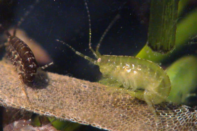 Critters (ampithoids) that thrive in the underway grass, which provide food for fish (Photo courtesy VIMS)
