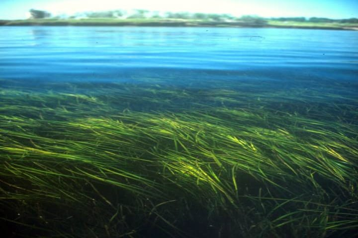 eelgrass_meadow