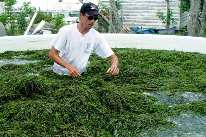 VIMS Researcher in tank full of underwater grasses