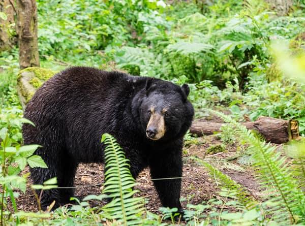 Maryland black bear
