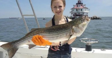 Maryland striped bass, also called Rock Fish