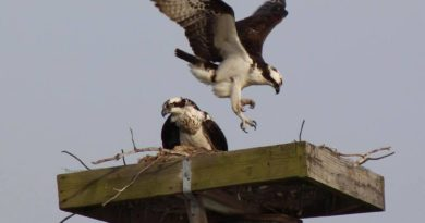 Chesapeake Bay osprey