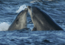Dolphin Watch! Chesapeake Bay dolphin sighting is now a thing.